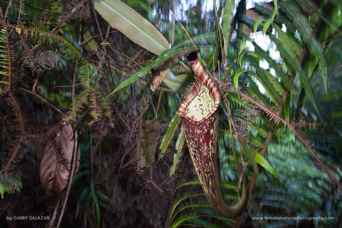 Hanging pitcher plants (Nepenthes rafflesiana) in the rainforest of Kubah National Park