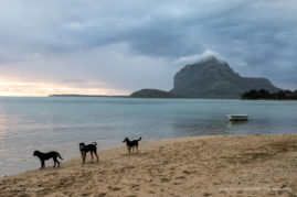 A band of dogs on the beach in Mauritius with Le Morne Mountain in the background.