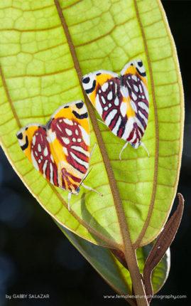 Moths on the underside of a leaf, Kinabalu Summit Trail, Kinabalu National Park, Borneo, Malaysia.