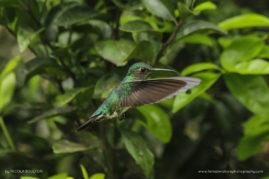 Violet-Fronted-Brilliant - Manu National Reserve