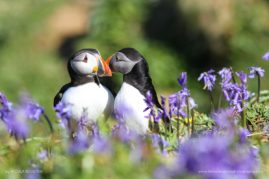 Puffins in the Bluebells - Lunga