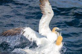 Northern Gannets in action - St Kilda