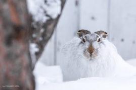 Winter Hare Calgary, Alberta