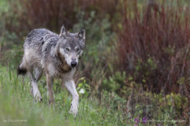 Gray Wolf Kootenay National Park, British Columbia