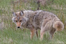 Coyote Hunting Banff National Park, Alberta