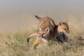 Swift Fox Pups Playing, Southern Alberta