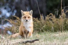 Red Fox Banff National Park, Alberta
