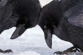 Raven Love, Banff National Park, Alberta