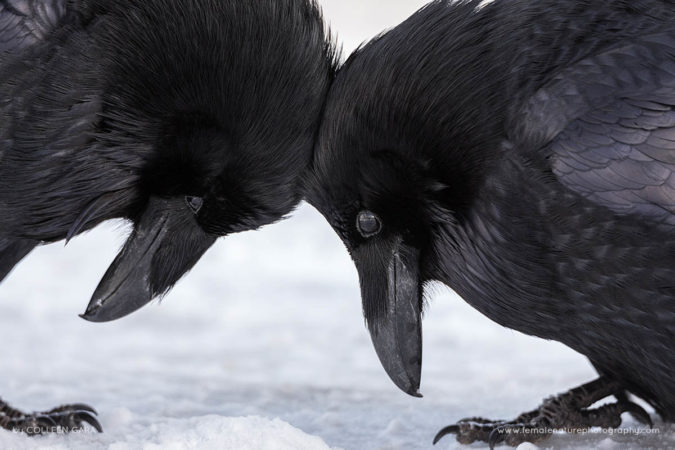 Raven Love, Banff National Park, Alberta