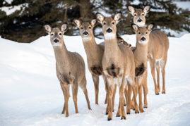 Mule Deer Bragg Creek, Alberta