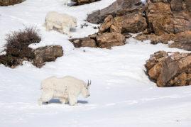 Mountain Goats Jasper National Park, Alberta