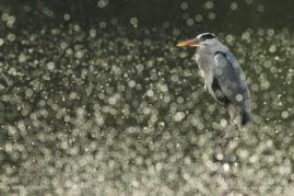 Bokeh Heron