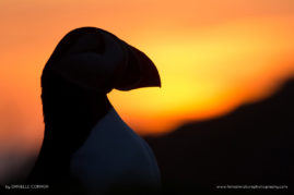 Puffin at Sunset