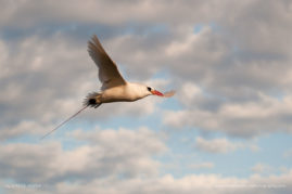 On the island of Nosy Ve, red-tailed tropicbirds wheel overhead as they return to their nests with food for their chicks