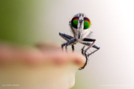 A large robber fly gives me the eye, Anakao in south-west Madagascar