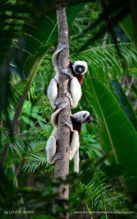 Coquerel's Sifakas in Anjajavy Reserve