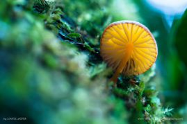 A minute mushroom grows on a trunk carpeted with epiphytes, Ranomafana National Park