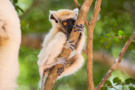 A baby Tattersall's sifaka nibbling bark in Loky-Manambato Protected Area