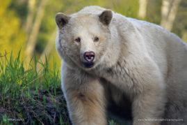 Bear of White