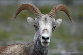 Young Ram