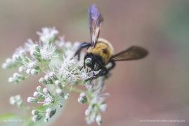 Beezy, macro bumble bee