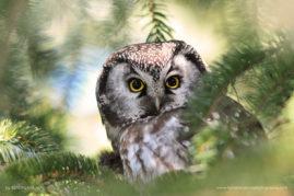 Elf or Boreal owl
