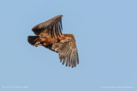 Flight: juvenile White-backed Vulture
