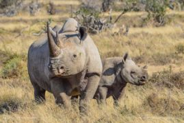 Black Rhino and six month old calf