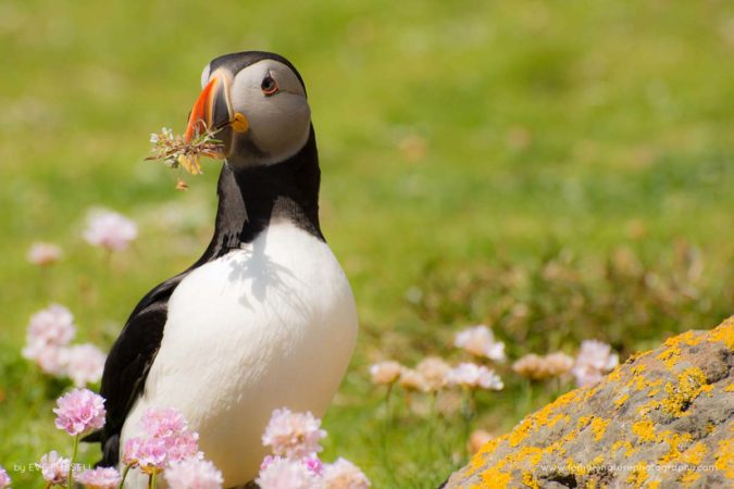 Summer Puffin With Thrift