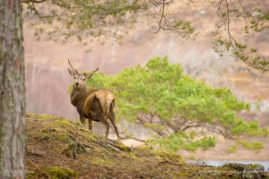 Stag In Scots Pine Forest