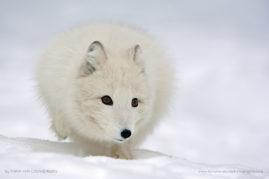 Polar fox running