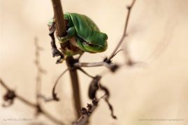 Mediterranean tree frog, South of France