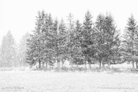 Pine trees in snow storm, Livradois Forez, Auvergne, France
