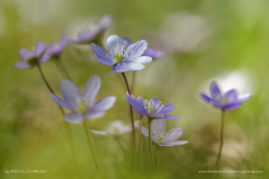 Hepatica-nobilis, South of France