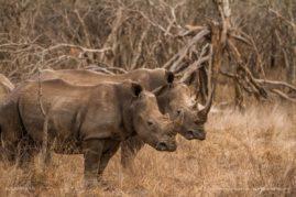 Rhino buds