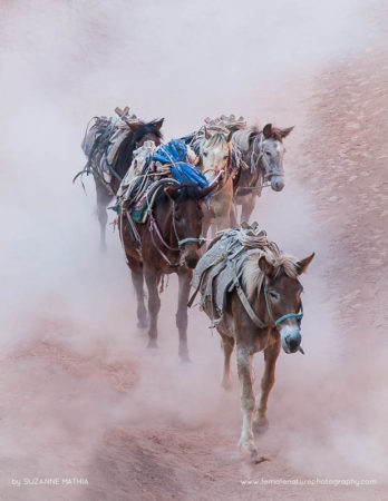 Heading Home - The horses in Havasupai Canyon head home after a hard days work