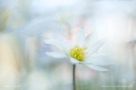 Anemone dream