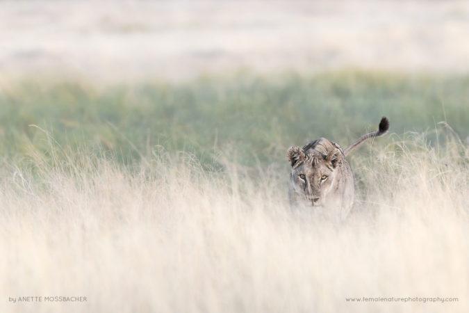 African-Lioness-stalking, Etosha National Park, Namibia