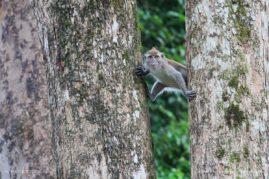 Maquak Monkey between to big trees in the jungle, Malaysia.