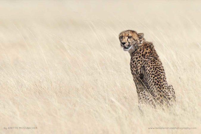 Cheetah sitting in bleached grass. Etosha National Park, Namibia.
