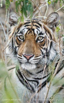Bengal Tiger portrait. Ranthambhore National Park, India.