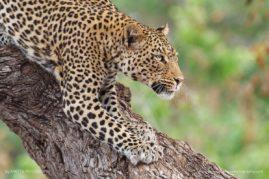 African-Leopard-Stalking, Captured in Botswana