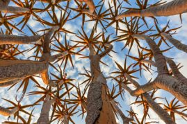 Quiver-Tree-Branches, Namibia