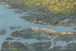 Great white Pelican, aerial view