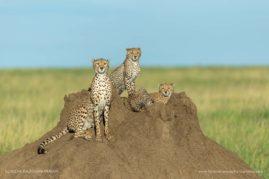 Cheetahs of the Serengeti