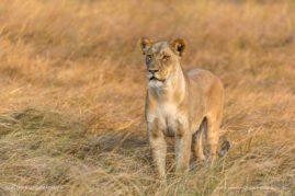 Lioness of the Linyati