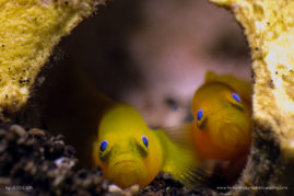 Pretty blue eyes of the Yellow Pygmy goby