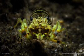 Bumble Bee Shrimp and its sexy eyelashes