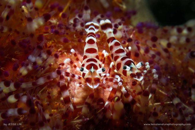 Coleman Shrimp Couple