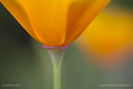 Californian Glow: A Californian Poppy abstract, taken in the Botanical Gardens in Berlin
